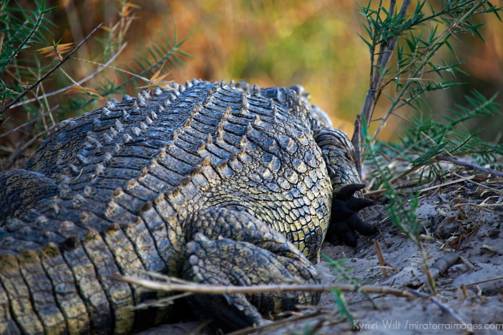 Africa, Zimbabwe, Victoria Falls. Crocodile of the Zambezi River.