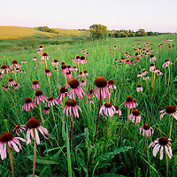 Coneflowers - Audubon Spring Creek Prairie, Nebraska. A stand of purple Coneflower (Echinacea Angustifolia), dress a prairie hillside in late June. A profusion of early summer wildflowers often follow course after timely spring rains and moderate temperatures, particularly in native grasslands that have been recently burned. Fire is a necessary tool for prairie restoration and was a key force that shaped the Great Plains ecosystem.