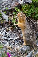 Arctic ground squirrel (Spermophilus parryii)<br /> ALASKA: Denali Borough<br /> Denali National Park at Savage River<br /> 12-July-2012<br /> J.C. Abbott &amp; K.K. Abbott