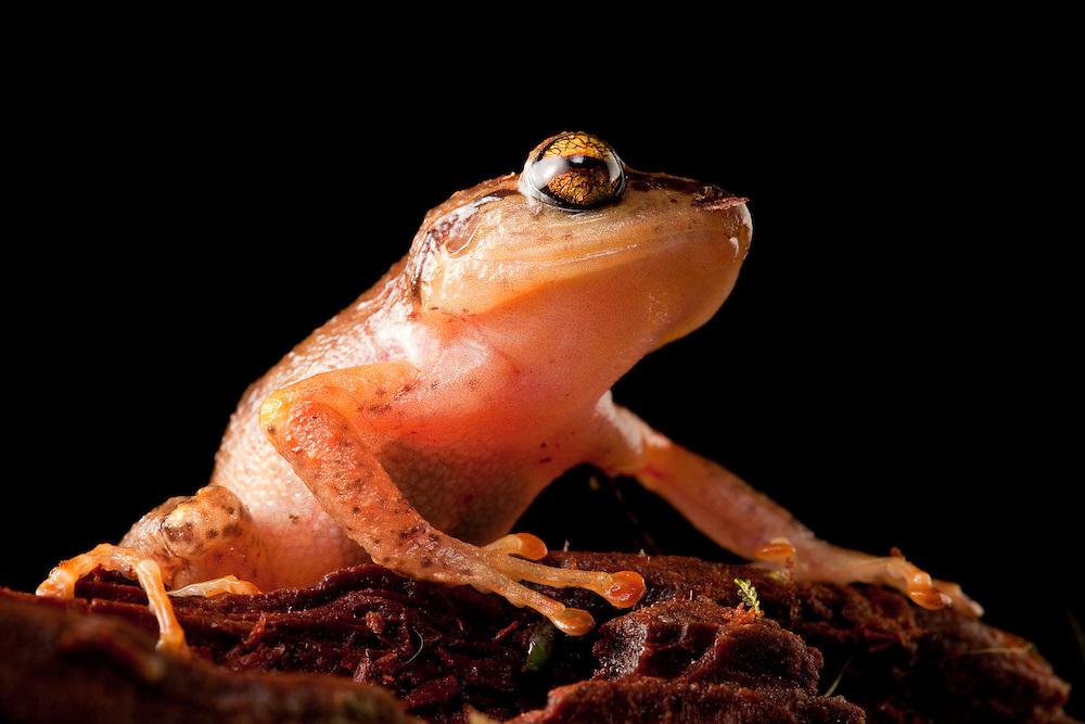 La Hotte Landfrog, Eleutherodactylus bakeri, a critically endangered species on the Massif de la Hotte.