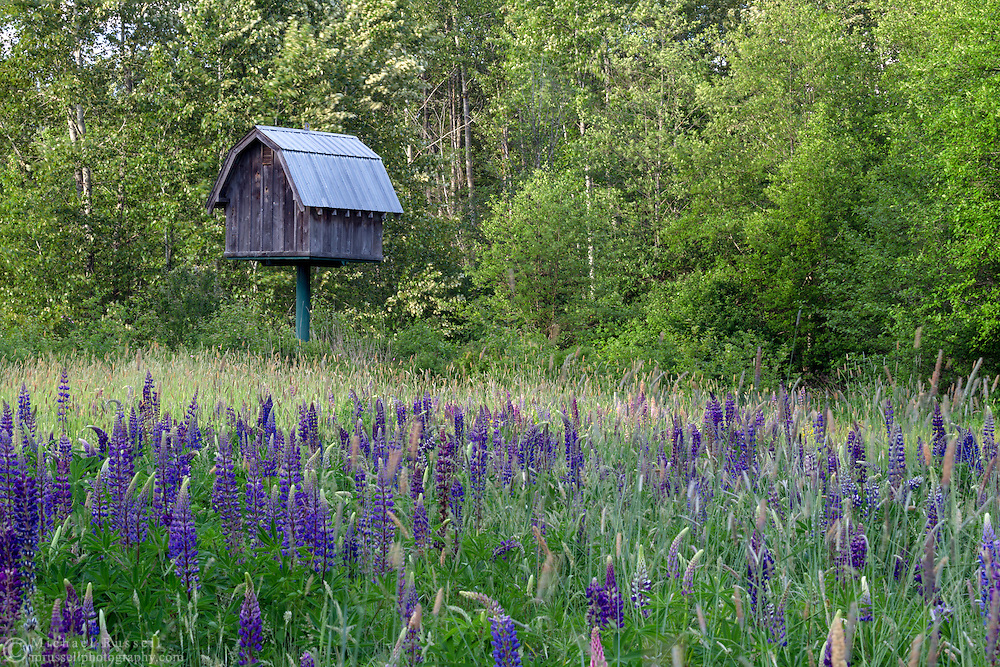 A small barn creates nesting space for Barn Owls amid the flowering Big-leaf Lupines at Elgin Heritage Park in Surrey, British Columbia, Canada