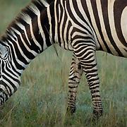 Zebra grazing at Lake Nakuru National Park, Kenya