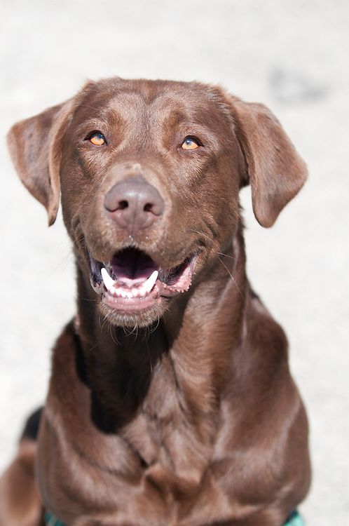 Zach is a cool chocolate lab.