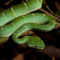 Pit viper, Trimeresurus fasciatus in Tompotika, Central Sulawesi