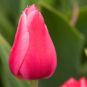 Tulips begin to bloom in one of the gardens at Roozengaarde, one of the major tulip growers in the Skagit Valley of Washington state. Each year, more than a million people visit the area near Mount Vernon to check out 300 acres of cultivated tulips.