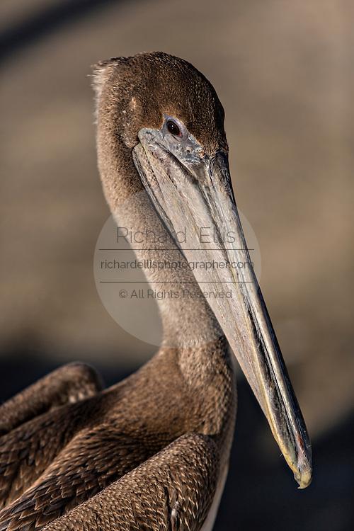 Brown pelicans along the waterfront of Fernandina Beach, Florida