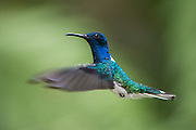 White-necked Jacobin (Florisuga mellivora)<br /> Mindo<br /> Cloud Forest<br /> West slope of Andes<br /> ECUADOR.  South America<br /> HABITAT &amp; RANGE: Mexico south to Peru, Bolivia and south Brazil. It is also found on Tobago and in Trinidad