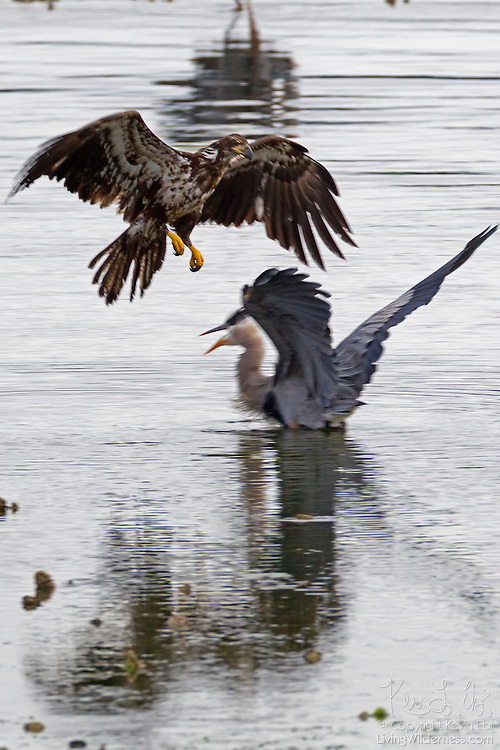 A juvenile bald eagle (Haliaeetus leucocephalus) attacks a great blue heron (Ardea herodias) in Hood Canal near Seabeck, Washington. Hundreds of bald eagles congregate in the area in the early summer to feast on migrating midshipman fish that get trapped in oyster beds during low tides. Bald eagles, however, largely get their food by stealing it from other birds.
