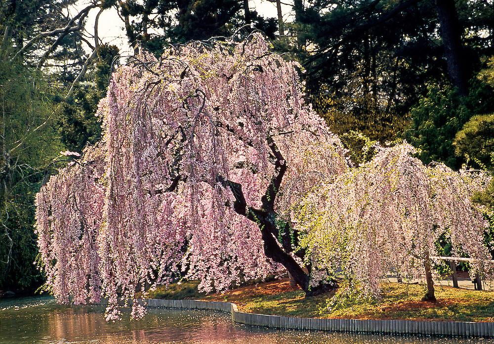 Cherry Blossoms Brooklyn Botanic Garden Brooklyn New York Japanese Hill And Pond Garden
