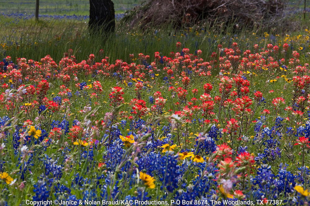 Fields of Texas Bluebonnets (Lupinus texensis), Indian Paintbrush (Castilleja indivisa), Coreopsis, and other wildflowers blooming in spring at Old Baylor College Historic Site and park in Independence, Texas.