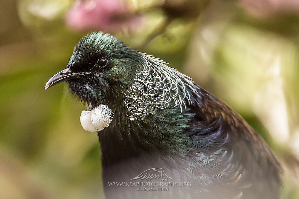 A portrait of a tui, displaying the white lacy collar of white-shafted feathers around its neck, along with a small tuft of feathers resembling cotton balls at its throat.