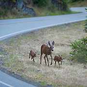 A doe and her twin fawns navigate along the road to Hurricane Ridge in Olympic National Park.