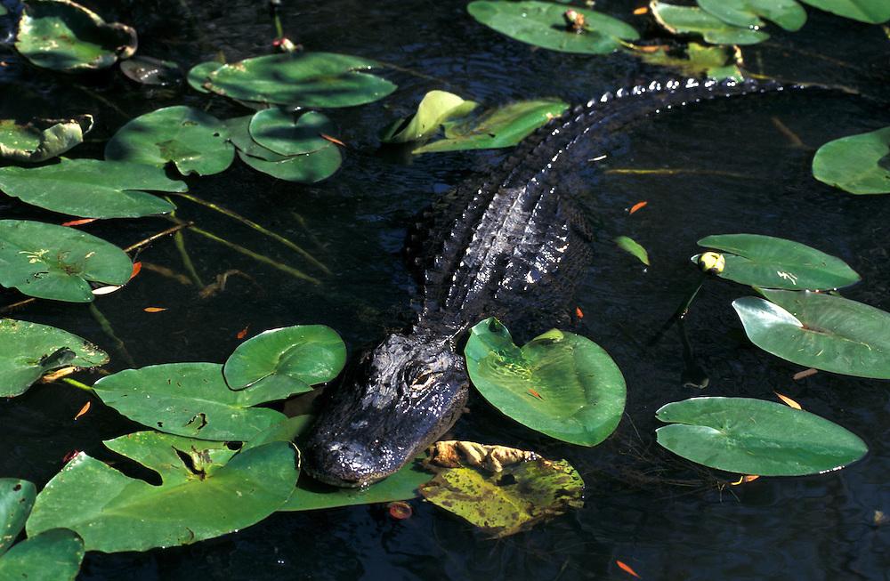 Mississippi- Alligator (Alligator mississippiensis) Everglades National Park, Florida, USA