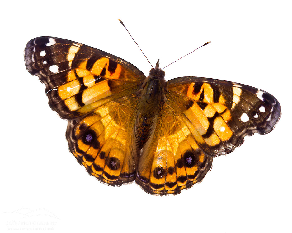 American Painted Lady butterfly, Vanessa virginiensis, found in Rye, New Hampshire.