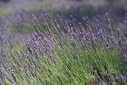 beautiful lavender in bloom
