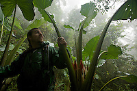 Montane rain forest views with mist.  Moss forest at 2000 m elevation in the Arfak Mountains.  Ornithologist Edwin Scholes with giant Aroid plants.