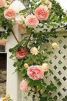 A pink  trailing rose bush trails on the white fence.