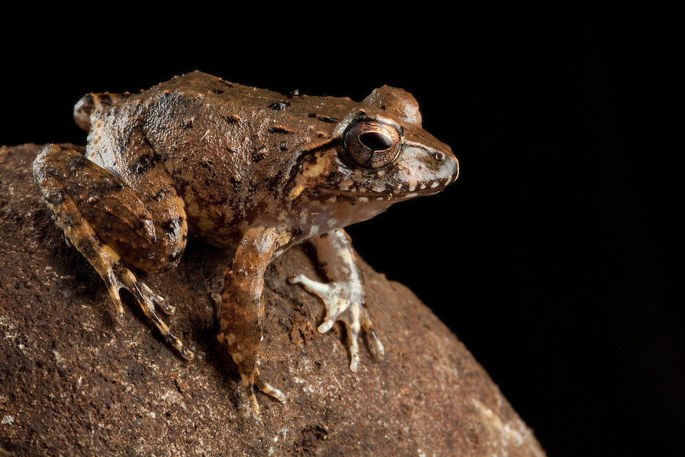 A Platymantis frog sits on a rock on Kolombangara, Solomon Islands