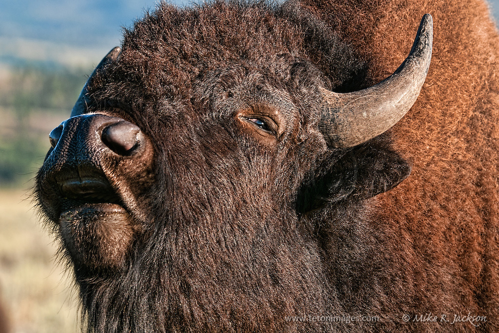 bison adult sex dating Pictured: yellowstone bison about to charge and toss mississippi woman, 43, into the air as she posed for a danger selfie the dangerous encounter was the fifth run-in between park-goers and.