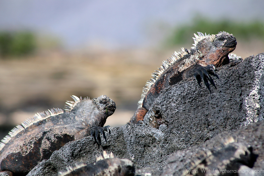South America, Ecuador, Galapagos Islands, Santiago Island, James Island, Port Egas. A pair of Marine Iguanas pose on a rock.