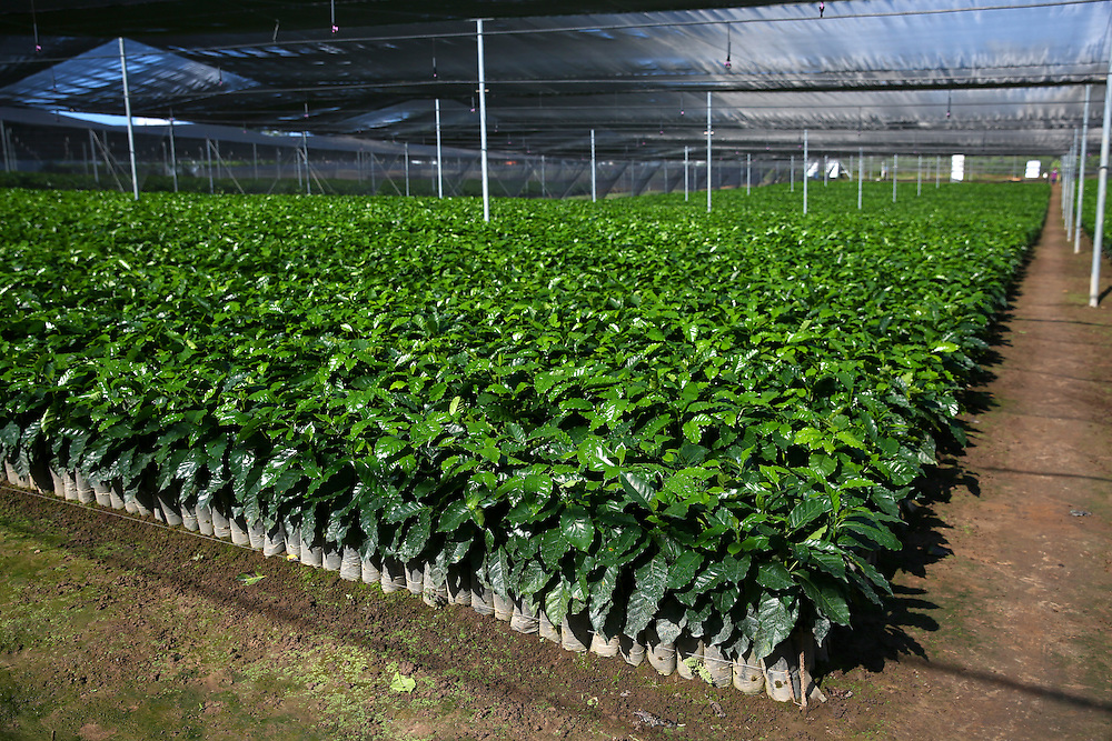 Young trees are shown in the Jaltenango coffee tree nursery in Chiapas, Mexico. (Joshua Trujillo, Starbucks)