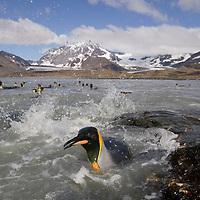 Antarctica, South Georgia Island (UK), King Penguins swimming along rocky shoreline near massive rookery along Saint Andrews Bay