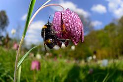 Dunkle Erdhummel (Bombus terrestris) Blütenbesuch, Nektarsuche, Blütenbestäubung an Schachbrettblume