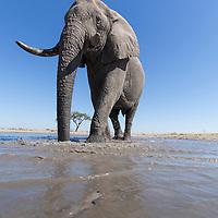 Africa, Botswana, Chobe National Park, Remote camera view of African Elephant (Loxodonta africana) walking through shallow water hole in Savuti Marsh
