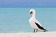 Masked Booby preening