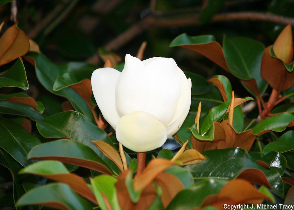 An Ivory Magnolia Bud, ready to burst into flower on a huge Georgia Magnolia Tree.