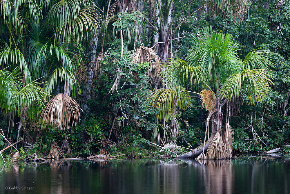 Pozo Don Pedre, Aguajal Palm Swamp. Los Amigos Conservation Concession run by the Amazon Conservation Association and the Asociación para la Conservación de la Cuenca Amazónica. The concession is on the Rio Madre de Dios and the Rio Los Amigos. It protects lowland rainforest in the Los Amigos - Tambopata Conservation Corridor and has a biological research station called CICRA.