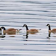 Three Canada geese (Branta canadensis) swim in Hood Canal near Seabeck, Washington.