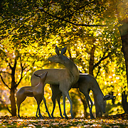 Images of the deer sculptures in the fall leaves, Wednesday November 5, 2014, Utah Valley University (Nathaniel Ray Edwards, UVU Marketing)