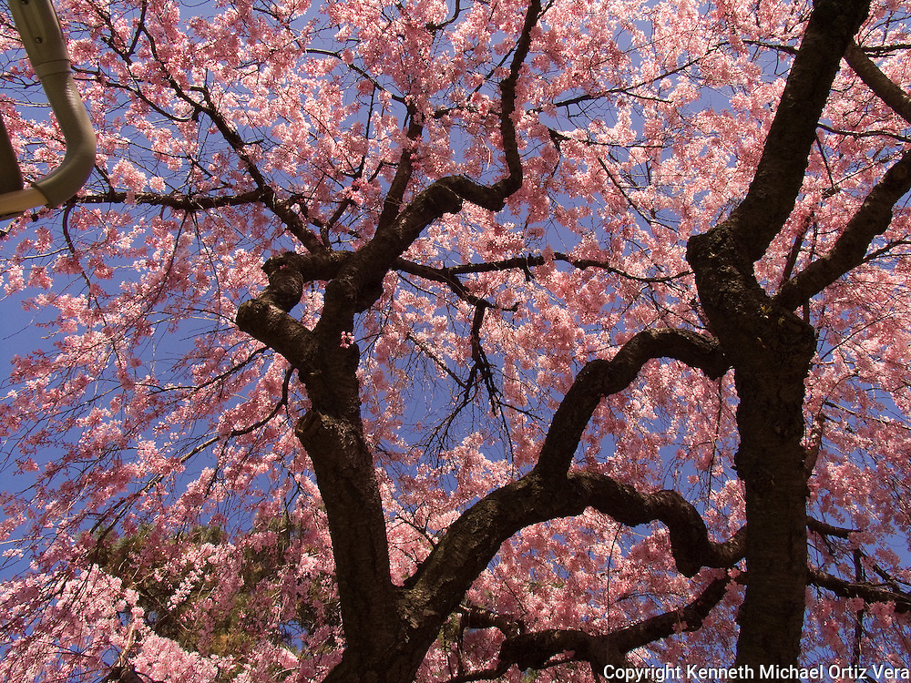 Cherry Blossom tree at the Brooklyn Botanical Gardens.