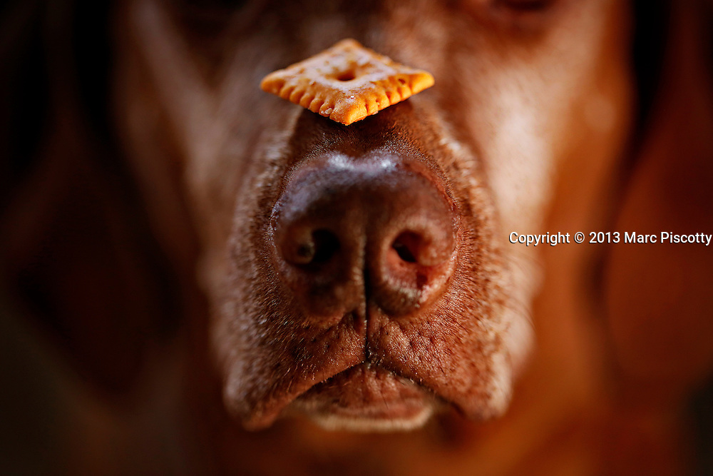 SHOT 1/19/13 11:24:59 AM - Tanner, an 8 year-old male Vizsla, balances a Cheezit on his nose while waiting for the command to go ahead and eat it one afternoon. The Vizsla is a medium-sized short-coated hunting dog of distinguished appearance and bearing. Robust but rather lightly built, they are lean dogs, have defined muscles, and are observed to share similar physical characteristics with the Weimaraner. The Vizsla is a natural hunter endowed with an excellent nose and an outstanding trainability. Although they are lively, gentle mannered, demonstrably affectionate and sensitive, they are also fearless and possessed of a well-developed protective instinct. (Photo by Marc Piscotty / © 2013)