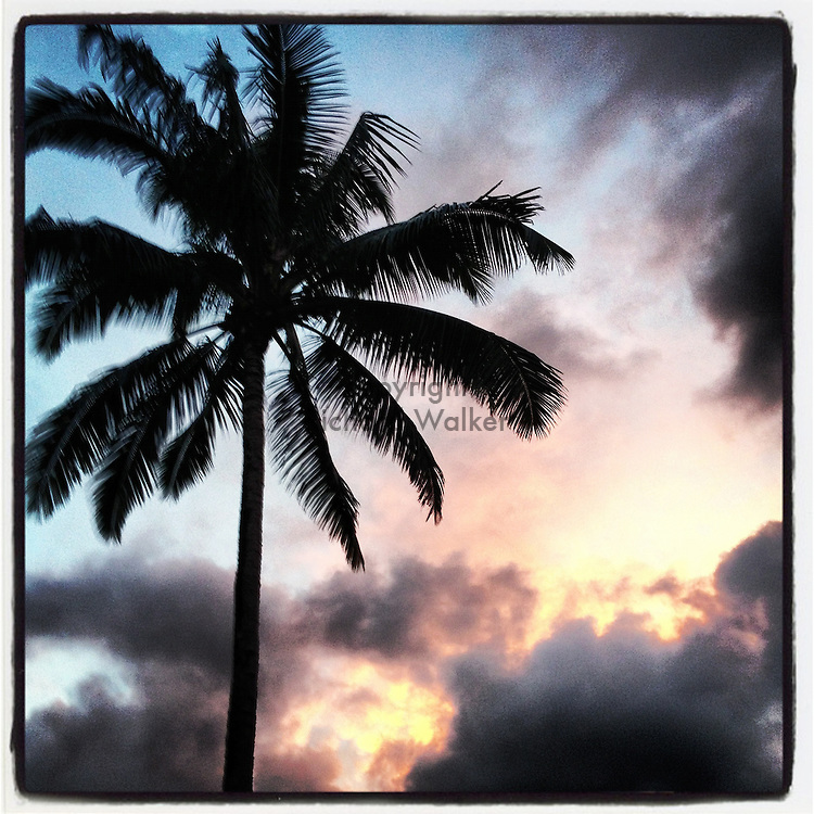 2012 SEPTEMBER 28 - Palm tree against an evening sky in Hawaii, USA. Taken with Apple iPhone using Instagram App. By Richard Walker