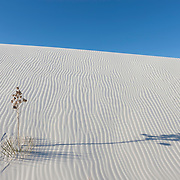 A soaptree yucca (Yucca elata) casts a long shadow over a dune in the White Sands National Monument in New Mexico. Shifting sand has partially buried this yucca. The plant's stem can grow as much as one foot per year to help it keep its leaves above the sand.