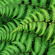 &quot;Fern&quot;<br /> <br /> Wonderful green ferns in a beautiful yet simple pattern!
