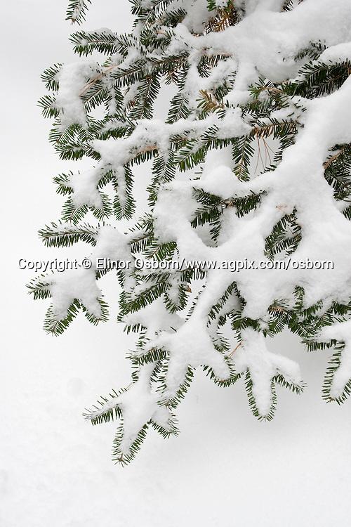 balsam fir showing snow load