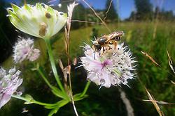 Gelbfüßige Sandbiene, Gemeine Sandbiene (Andrena flavipes) Wildbiene
