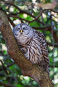 A barred owl (Strix varia) sleeps against the curved trunk of a rhododendron in the Washington Park Arboretum, Seattle, Washington. Barred owls are known by many names, including hoot ouwl, eight hooter, rain owl, wood owl and striped owl.