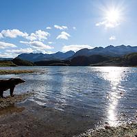 USA, Alaska, Katmai National Park, Wide angle view of Coastal Brown Bear (Ursus arctos) fishing along salmon spawning stream by Kinak Bay