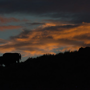 Bison silhouette at sunset in the Hayden Valley at Yellowstone National Park.