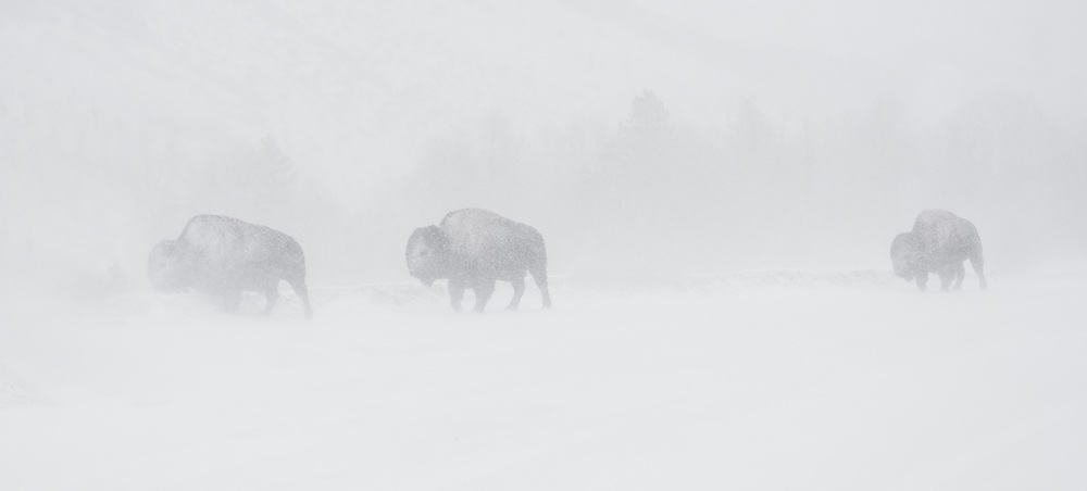 Braving the winter winds, a trio of bull bison trudge through near whiteout conditions as they make their way towards the safety of the trees.