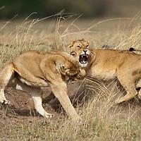 Africa, Kenya, Masai Mara Game Reserve, Two Lioness (Panthera leo) fighting in tall grass on savanna
