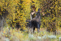 Trophy bull moose during autumn rut in Wyoming