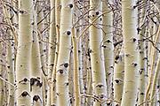 Aspen trees in winter; Hart Mountain National Antelope Refuge, Oregon.