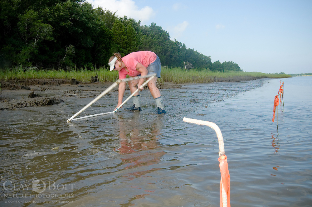TNC Marine Restoration Specialist Joy Brown, Flips Measurement tool to determine the distance between the points where the oyster castles will be built to the closest Spartina Grasses (Spartina alterniflora)