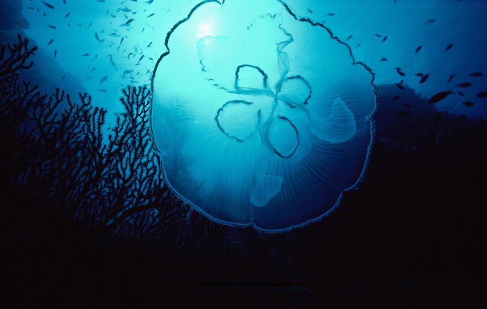 Moon Jellyfish (Aurelia aurita) Saba
