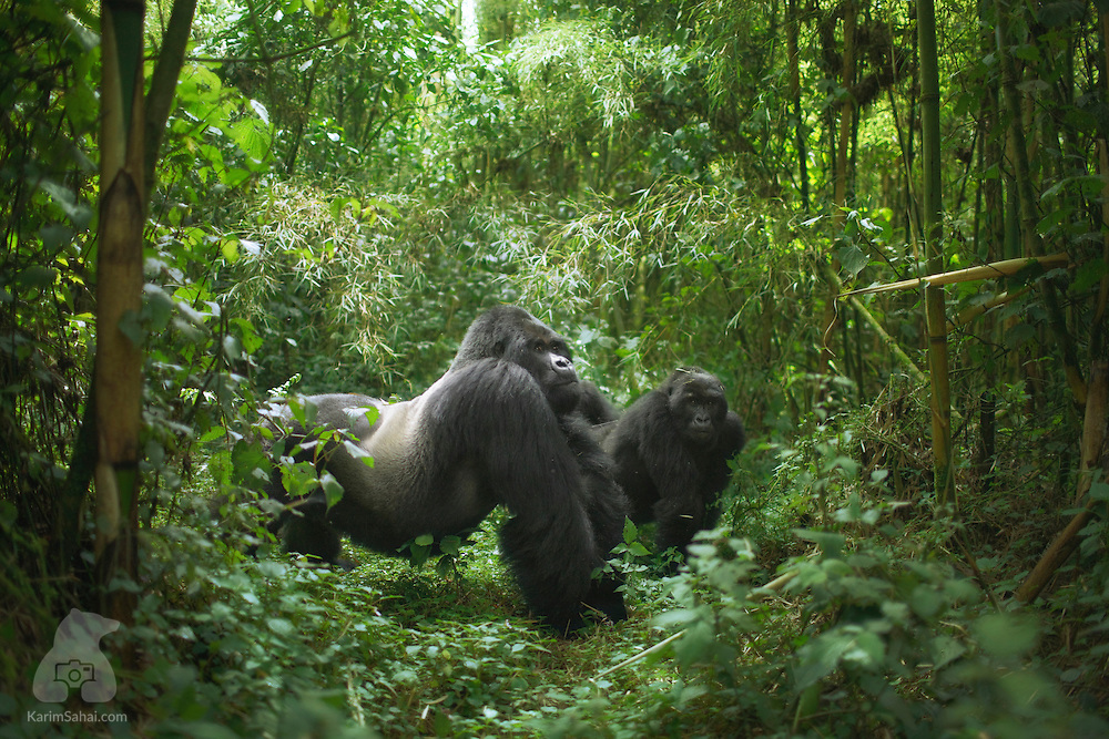 At 225Kg, Guhonda is the largest silverback mountain gorilla in the world. He is the alpha male of the Sabinyo group and is often seen in the company of one of the group&rsquo;s several adult females.<br /> <br /> Rwanda&rsquo;s Volcanos National Park (Parc National Des Volcans) is home to some of the critically endangered mountain gorillas. The apes of Central Africa face danger from habitat loss, hunting and armed conflic in the border region of the Democratic Republic of Congo and Rwanda.<br /> <br /> As their habitat in increasingly encroached upon, mountain gorillas become exposed to a host of human pathogens. Long term conservation efforts have been credited for an increase in population; from 620 individuals in the early 1990s to 880 in 2011.